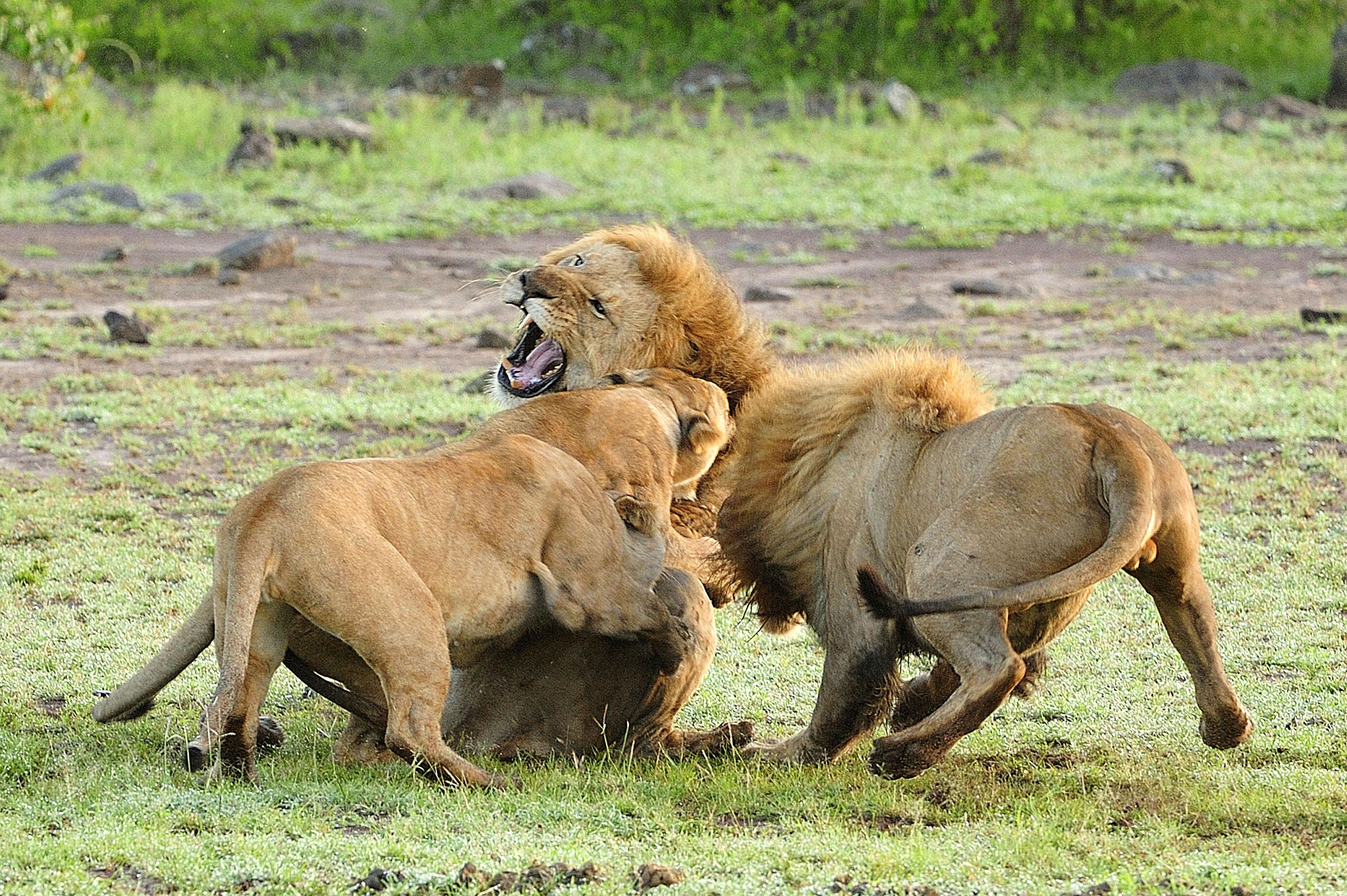 Brutal infanticidio y apareamiento entre leones batalla de los sexos en el mundo animal - Leones apareamiento ...