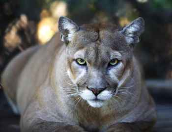 puma de California (Puma concolor)