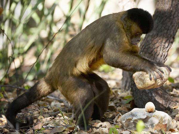 Resultado de imagen de mono con piedra