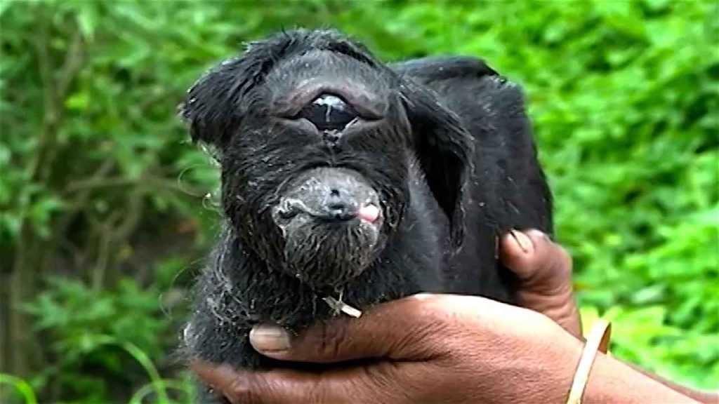 La \'milagrosa\' cabra cíclope está batiendo récords - Vídeos virales