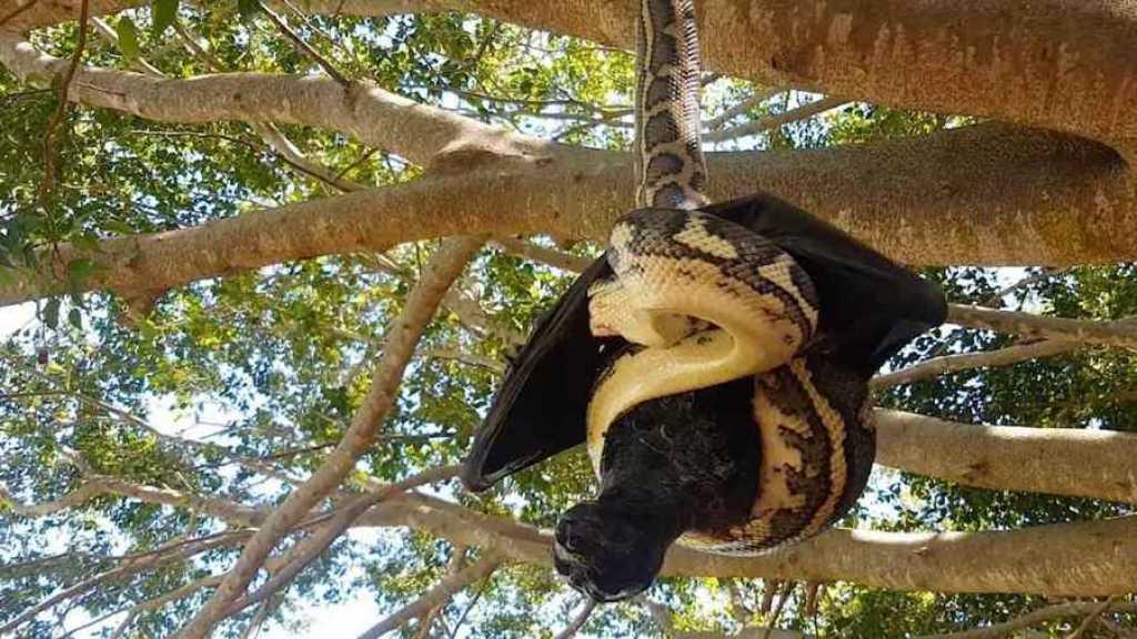 Cazador de serpientes serpiente por la vagina - 2 6