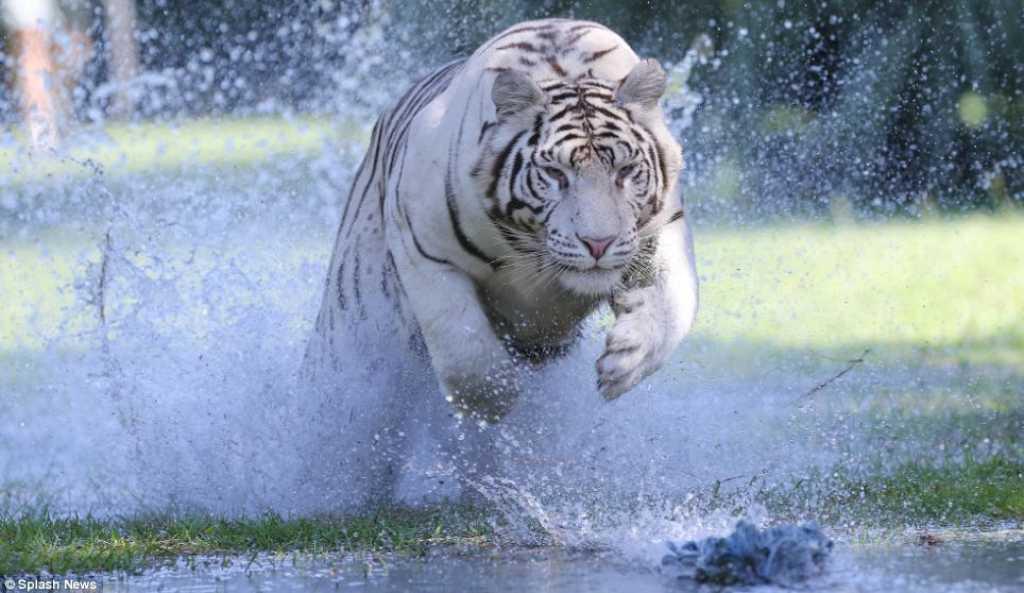 Tigres De Bengala Corriendo Frente Hacia La C&225mara