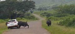 Enojado búfalo embiste un coche por acercarse demasiado a la manada