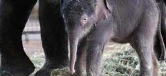 Nace raro elefante tailandés en el zoo de Berlin