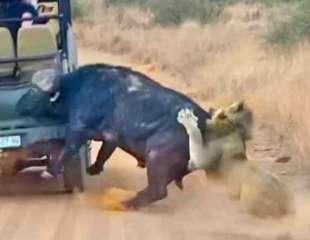 Búfalo embiste un coche mientras intenta ahuyentar a unos leones