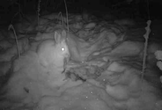 Sorprendentes imágenes revelan que las liebres son caníbales y comen carne