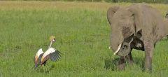 Valor avícola: grulla se enfrenta con elefantes para proteger sus huevos