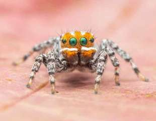 Entrañable araña pavo real de cara naranja se parece a 'Nemo' (y baila)