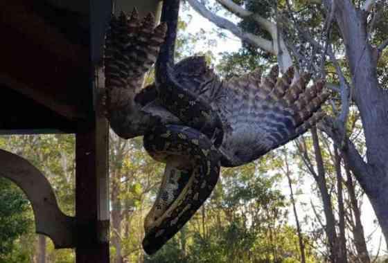 Filmada una serpiente pitón devorando una especie de búho