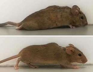 La citoquina de diseño hace que ratones parapléjicos vuelvan a caminar