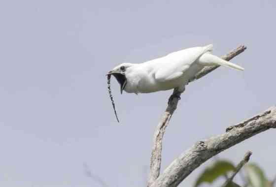 Pequeño pájaro amazónico tiene la llamada más fuerte del mundo