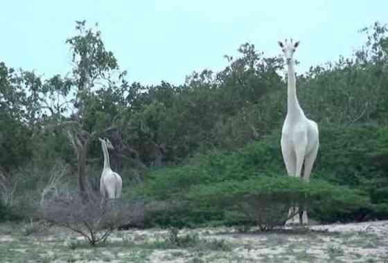 Elusivas nevadas jirafas blancas filmadas en Kenia