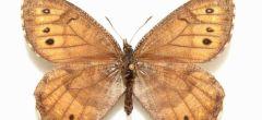 Mariposa recién descubierta en Alaska tiene anticongelante en su sangre