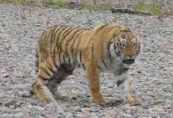El tigre Vladik tiene pasión por los viajes