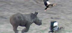 Gracioso rinoceronte bebé persiguiendo a unas aves