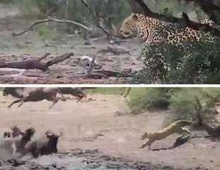 Leopardo vigila una charca hasta encontrar el momento preciso de saltar sobre su presa