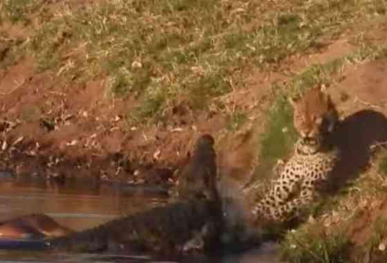 Leopardo intenta robar la presa a un cocodrilo