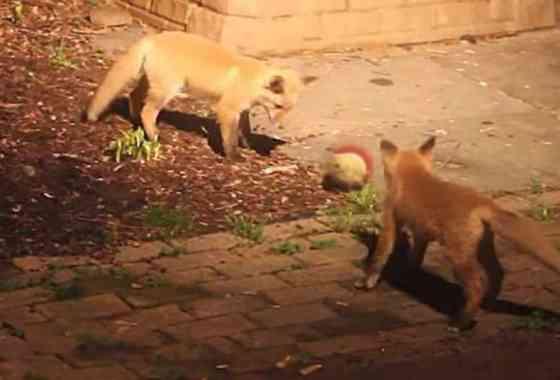 Mira lo que pasa cuando unos adorables zorritos encuentran una pelota de tenis