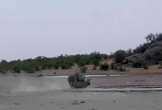 Rinoceronte negro arremete contra un rival más pequeño en un intenso enfrentamiento