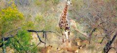 Jirafa se defiende a patadas de una manada de leones