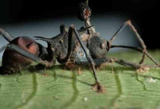 El hongo que convierte a las hormigas en estúpidos zombis