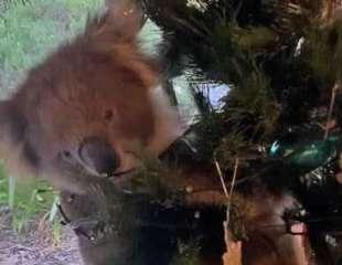 Una familia australiana acaba de encontrar un koala vivo en su árbol de Navidad