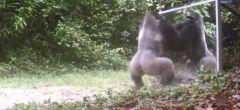 Gorila ataca su reflejo en un espejo