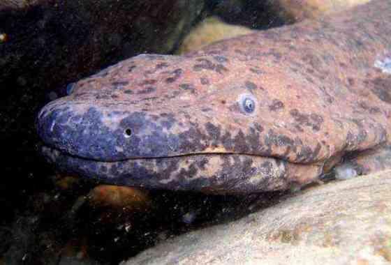 Nueva especie de salamandra gigante es el anfibio más grande del mundo