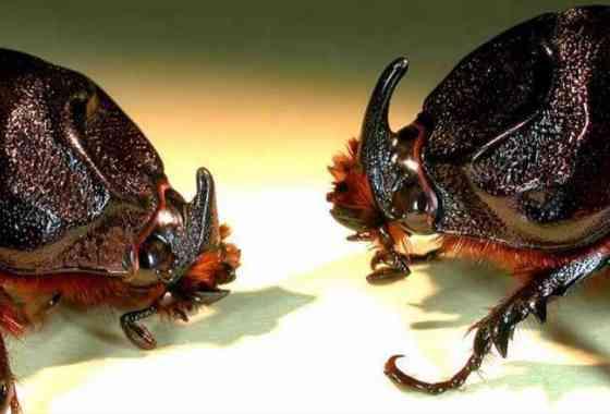 Vigilando a un peligroso escarabajo invasor en Hawái