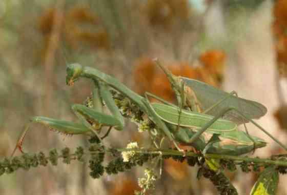 Ver a una mantis hembra comerse una mantis macho mientras se aparean es terriblemente brutal