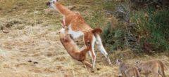 Puma intenta cazar un guanaco de tres veces su peso