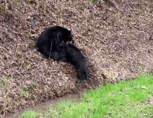 La tremenda batalla de un oso para cazar a un jabalí adulto