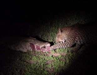 Descarado leopardo roba comida de la boca de un cocodrilo
