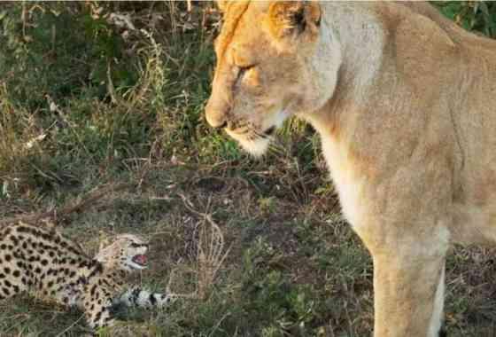 Valiente gatito serval se enfrenta a una leona, lamentablemente acaba mal