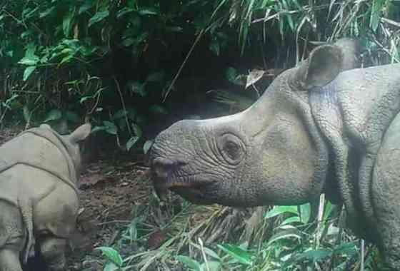 Avistados dos nuevos bebés de raro rinoceronte en peligro de extinción