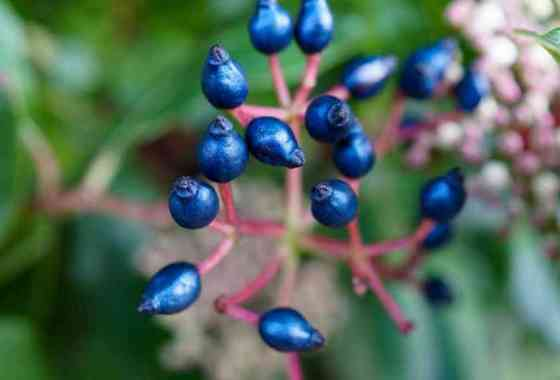El secreto del misterioso color azul de esta fruta