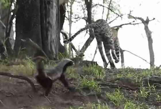 Tejón de la miel rescata a su bebé de un leopardo