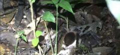 Enorme tarántula da caza a una cría de zarigüeya