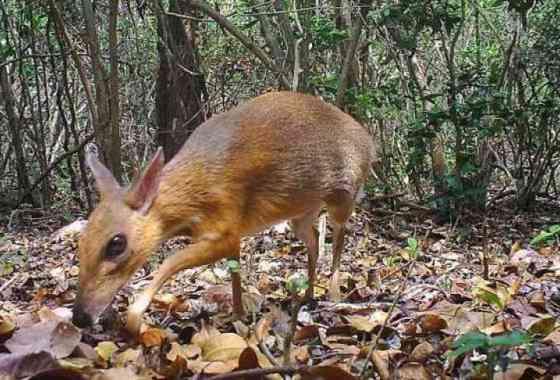Redescubierto en Vietnam diminuto ciervo del tamaño de un conejo