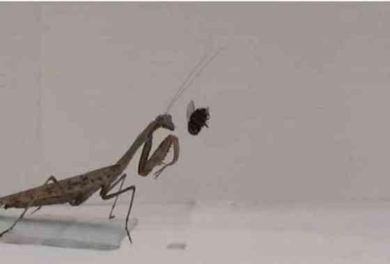 Vídeo de alta velocidad muestra cada segundo del golpe letal de una mantis religiosa