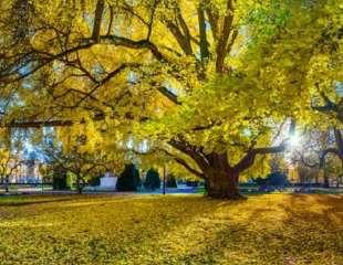 Esta antigua especie de árbol es prácticamente inmortal, y finalmente entendemos cómo