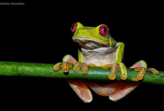 Espectaculares 'vuelos' de ranas deslizadoras arbóreas