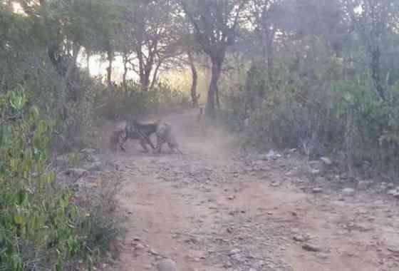 Hienas rayadas luchan en la Reserva de Tigres Sariska de la India