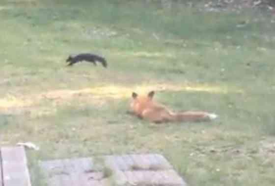 Arrogante ardilla termina siendo comida por un zorro