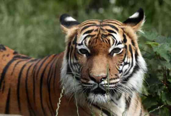 Un tigre da positivo al COVID-19 en el zoológico del Bronx de Nueva York