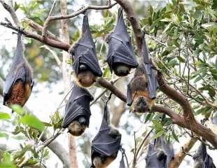 Cinco cosas que debes saber sobre los murciélagos, las enfermedades y el coronavirus
