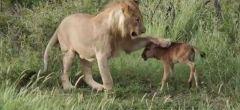 Cuando el cordero se acuesta con el león, casi siempre termina siendo su almuerzo