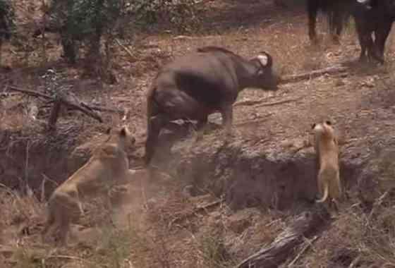 Búfalo rescatado por su manada ante el acoso de leones