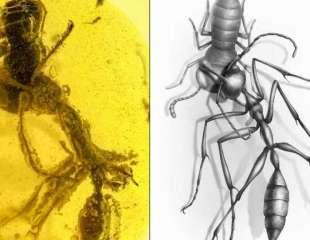 Ámbar conserva la caza de la última víctima de una 'hormiga del infierno'