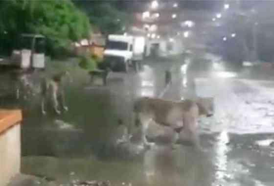 Manada de leones se pasea tranquilamente por las calles de una ciudad